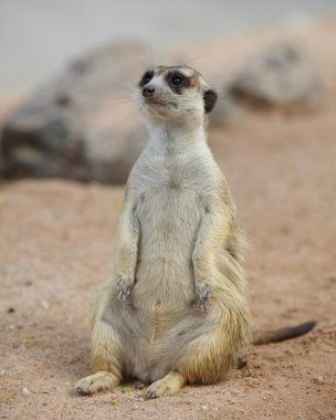 lovely meerkat standing and looking