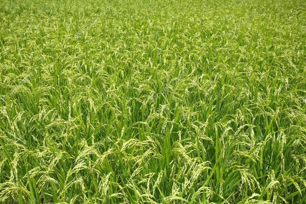 Natural green rice field