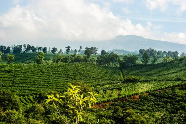 Costa Rica Coffee Plantation