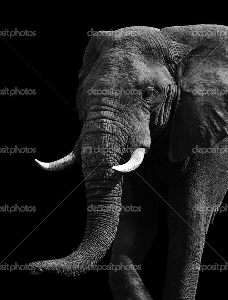 Fotos Elefante En Blanco Y Negro Artística Elefante Blanco Y