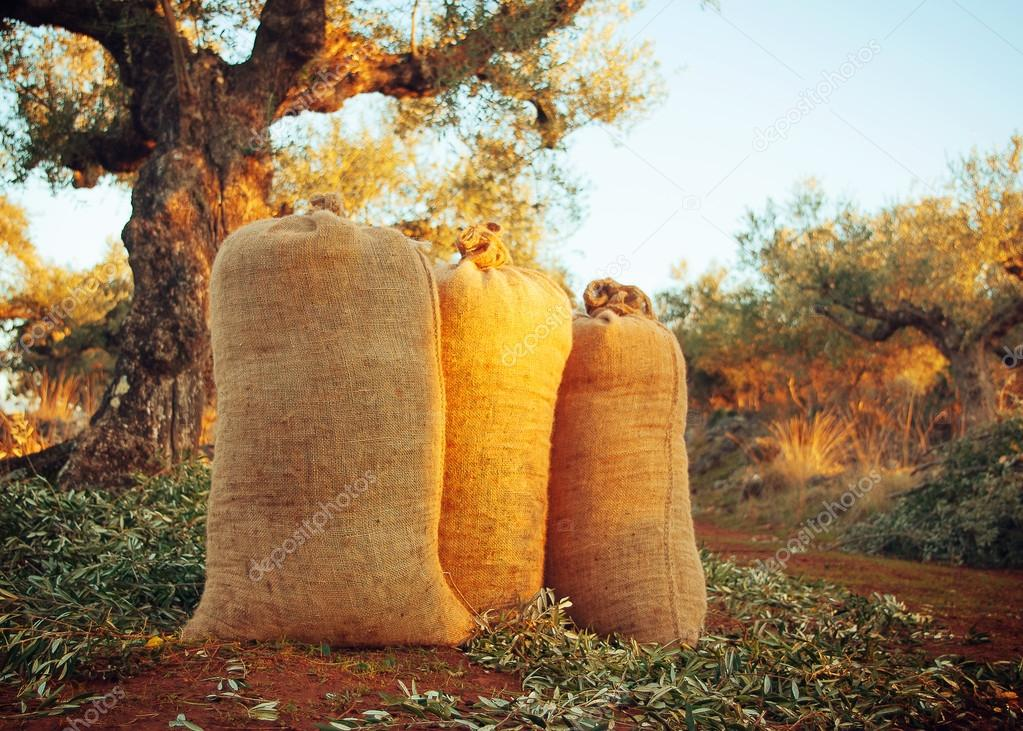 Three sacks filled with freshly gathered olives