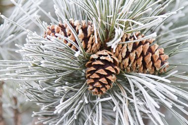 Frosted Pine Cones & Needles