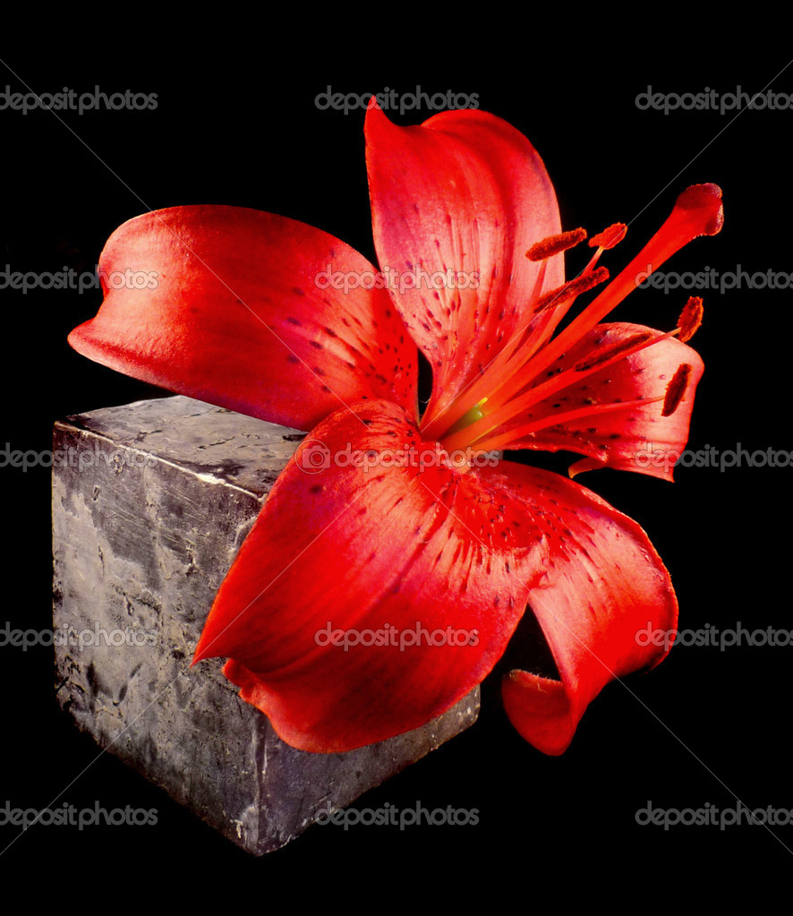 Red lily with stone