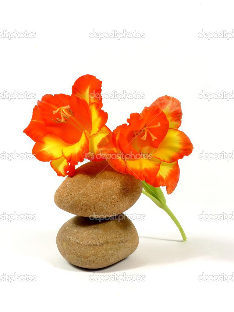 Gladiolus blossom