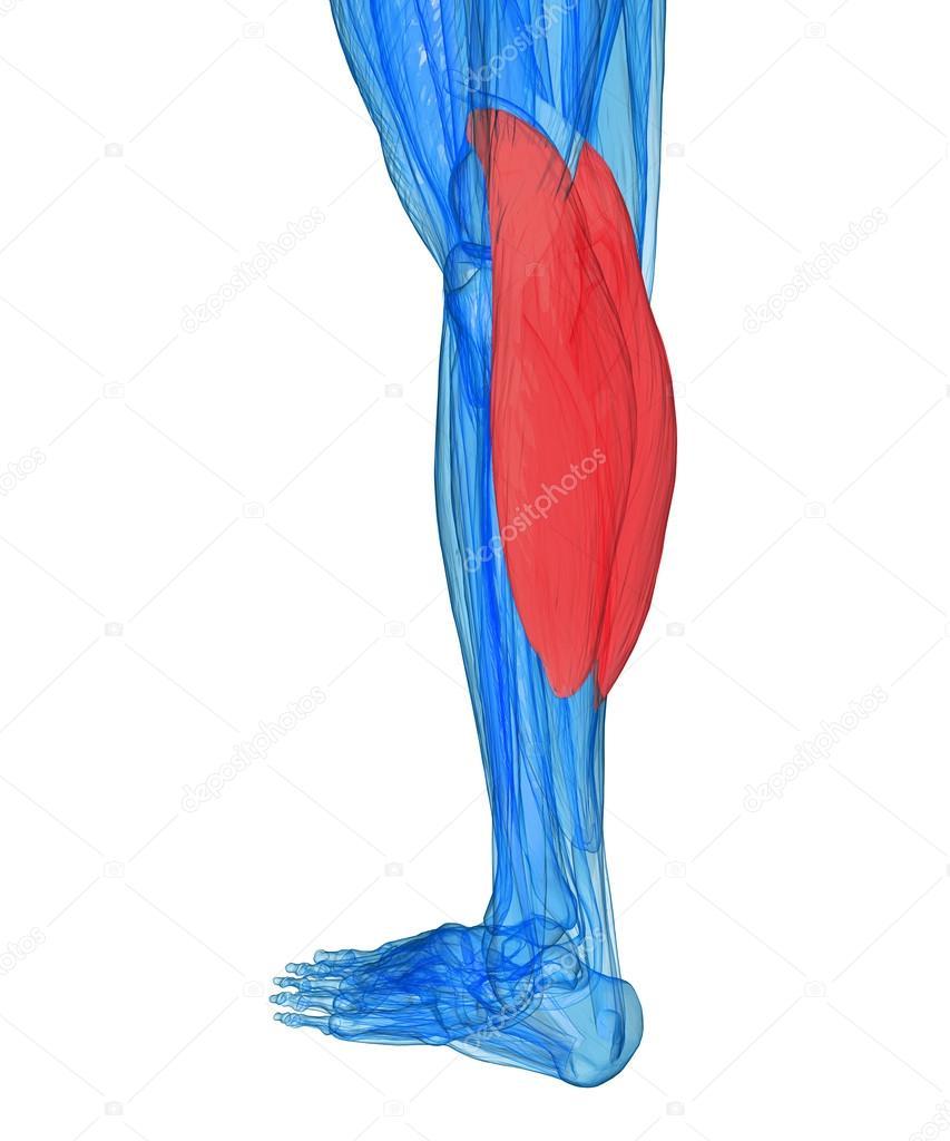 terneros - músculos anatomía — Foto de stock © ingridat #27958903