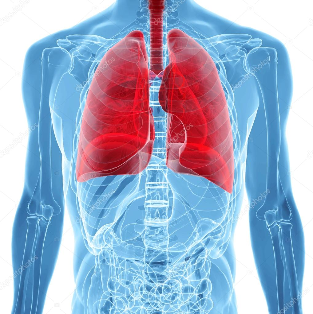 anatomy of human lungs in x-ray view — Stock Photo © ingridat #29430483