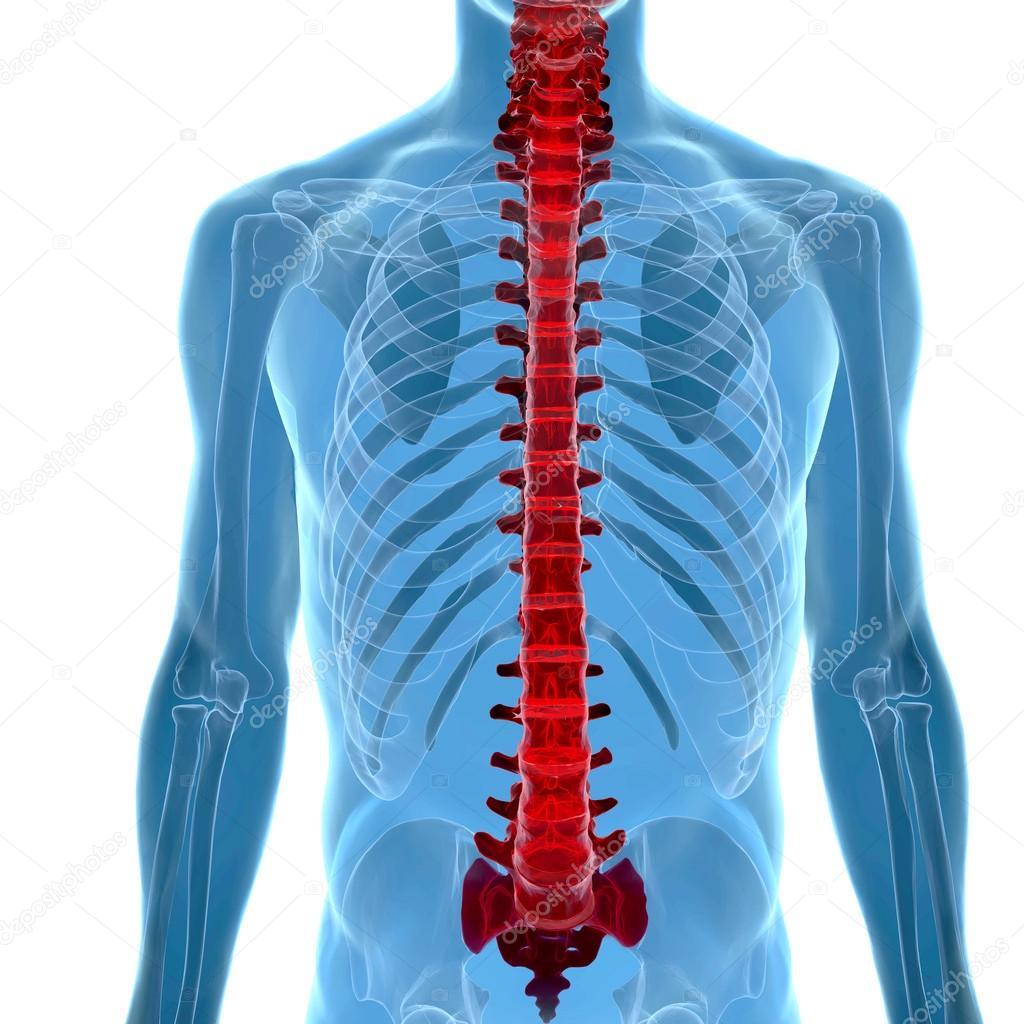 Anatomía de la columna vertebral humana en vista de rayos x — Foto ...