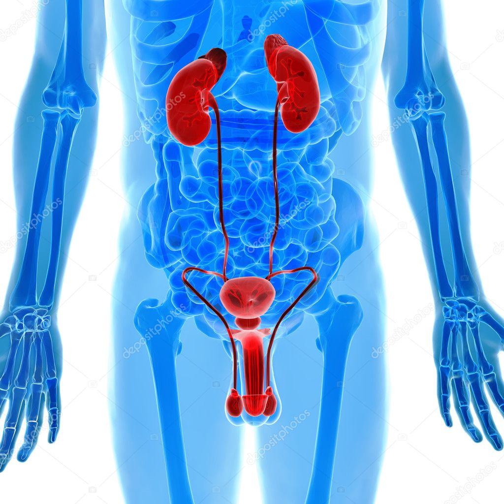 Anatomía de órganos humanos urogenitales en vista de rayos x — Foto ...