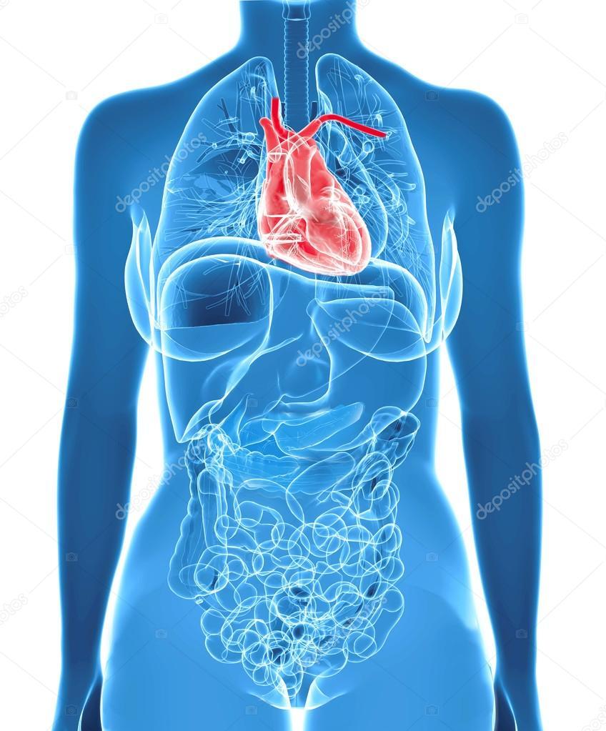 anatomía femenina con corazón resaltado — Fotos de Stock © ingridat ...
