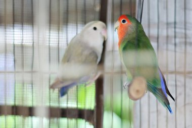 Couple of Colorful African Lovebirds
