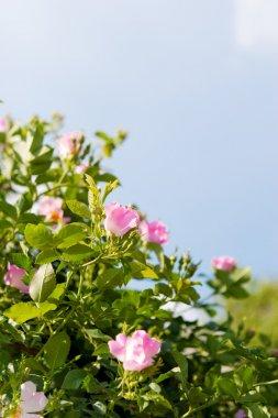 background of dog-roses