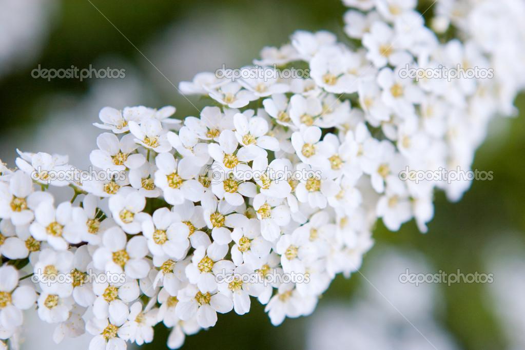 flores blancas pequeas Fotos de Stock vsurkov 23690765