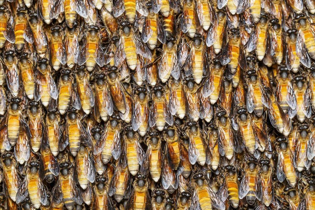 Tekstura Pszczoła Pracownika Zdjęcie Stockowe Mathisa