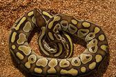 Fotografia serpente pitone palla