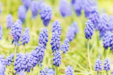 Tufted Grape Hyacinth Purple Flower Field