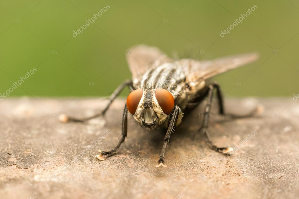 The Common Housefly