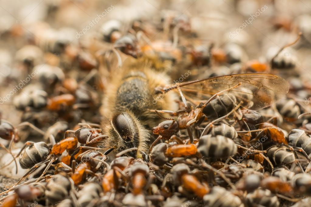 Ants Swarm Eating Dead Bee