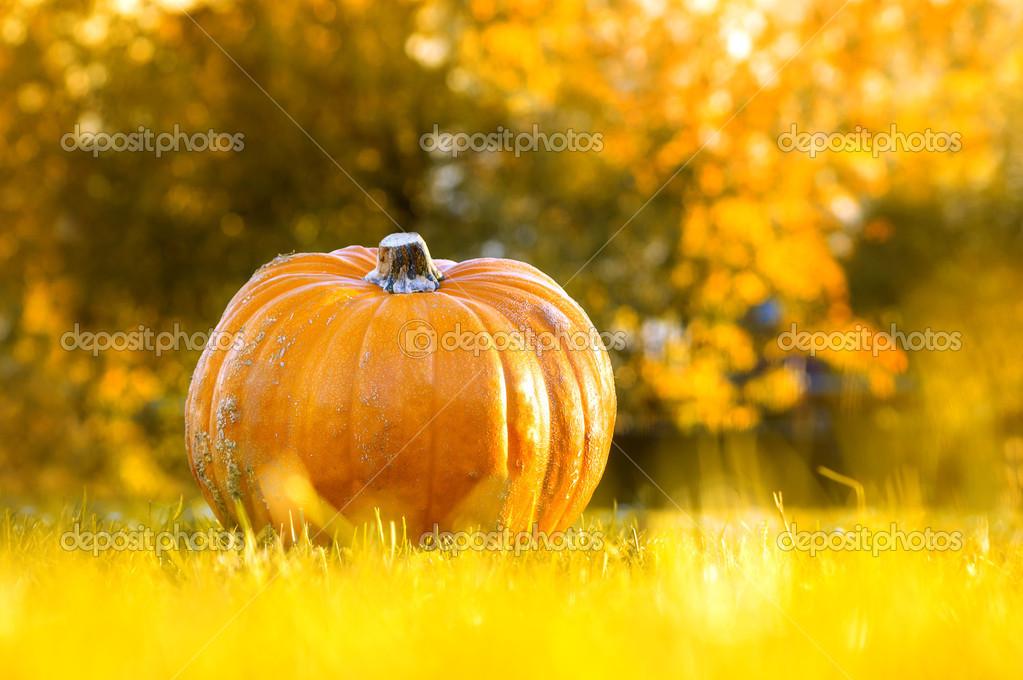 Kürbis Ambercup im Herbst Garten