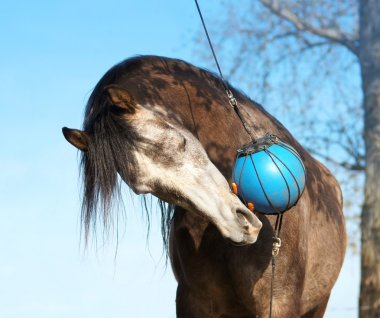 Brown horse playing with ball and carrots