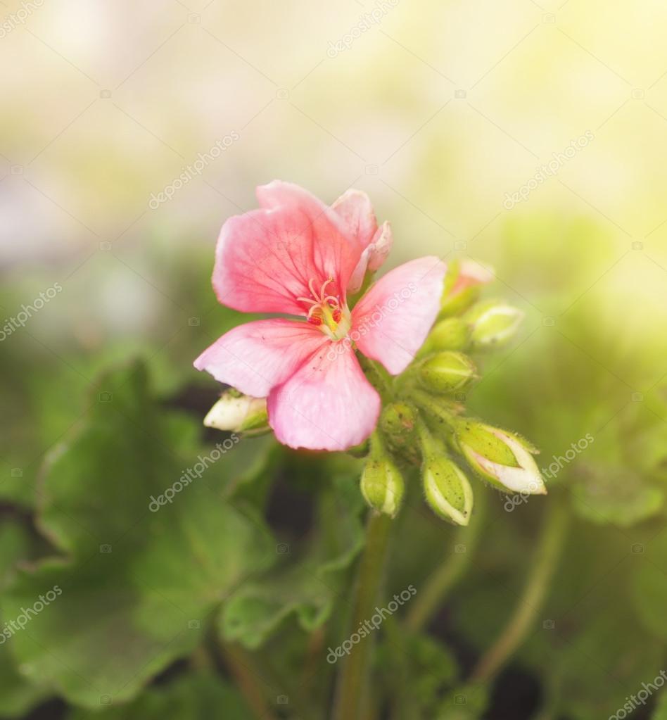 Delicate pink geranium, spring flower