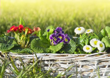 Spring flowers, primroses and daisies on lawn of grass