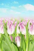 rozkvétají růžové tulipány jarní oblohy v pozadí