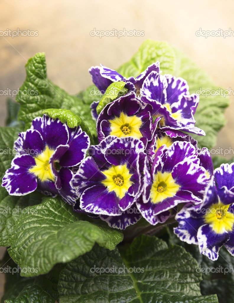 Dark primrose in sunlight
