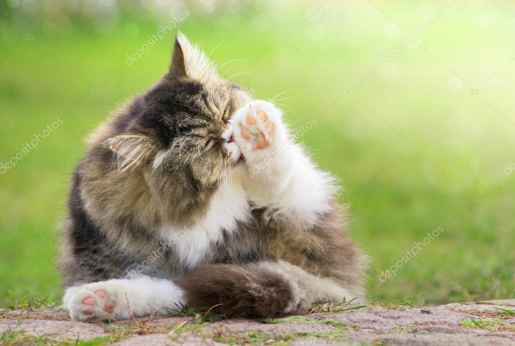 Grey furry Cat cleaned outdoors in green garden in sunlight