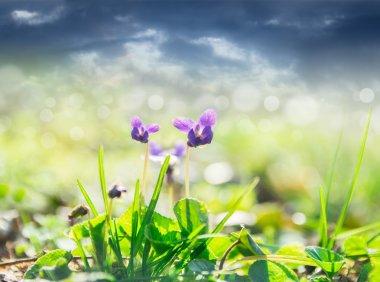 Wild violets in  forest spring glade  on background storm sky