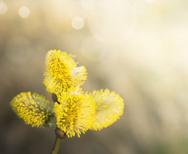 Yellow willow catkin on tree , sunny, spring time