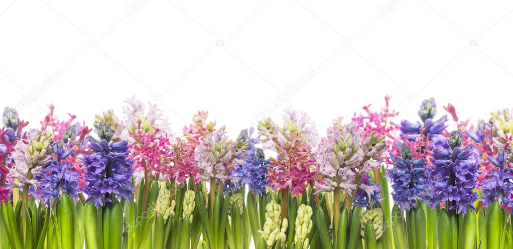 Hyacinths flowers blooming in spring,banner,