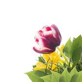 Nachový Tulipán v partě s žlutými květy, izolované