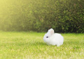 Fotografie Little white bunny on  lawn in garden