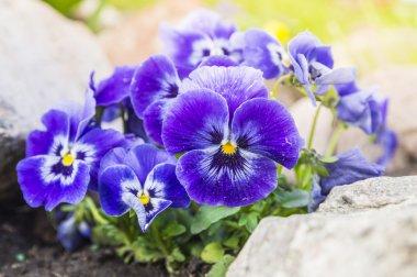 Purple blue pansy flowers in rock garden