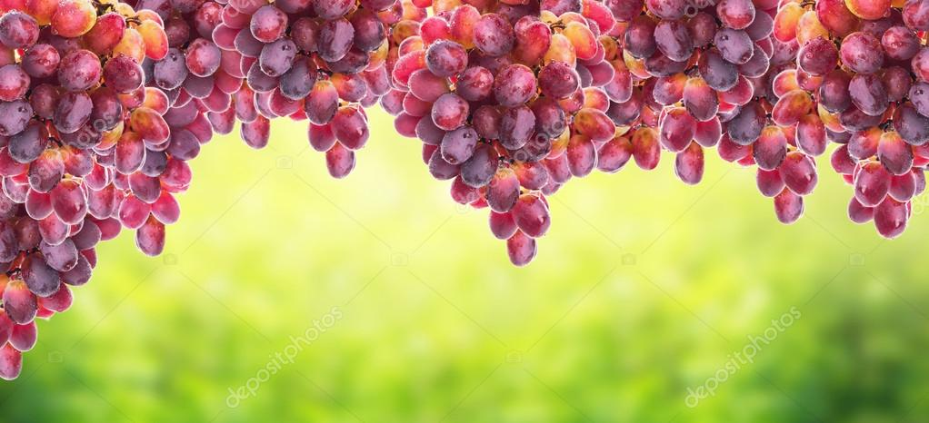 Hanging bunch of grapes on background of sunny foliage, banner