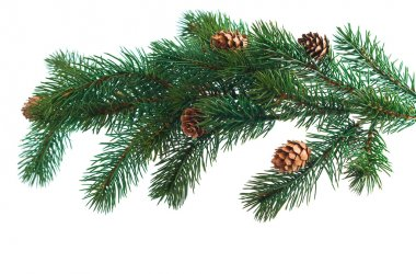 Pine cones with pine branches. Cone and christmas tree isolated