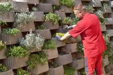 Man, gardener relies flowers in retaining concrete wall