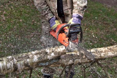 A lumberjack working with a chainsaw, safety, birch tree (Betula)
