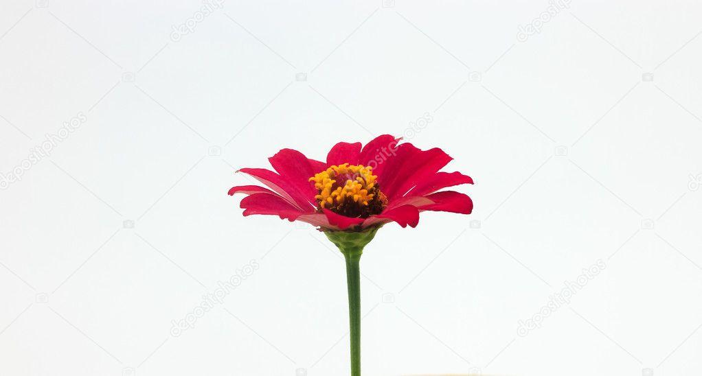 rote Blume und Steine gegenüber dem weißen Hintergrund isoliert ...