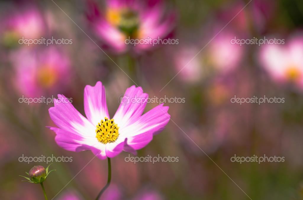weiße und rosa kosmos blume — Stockfoto © inmt24 #33362557