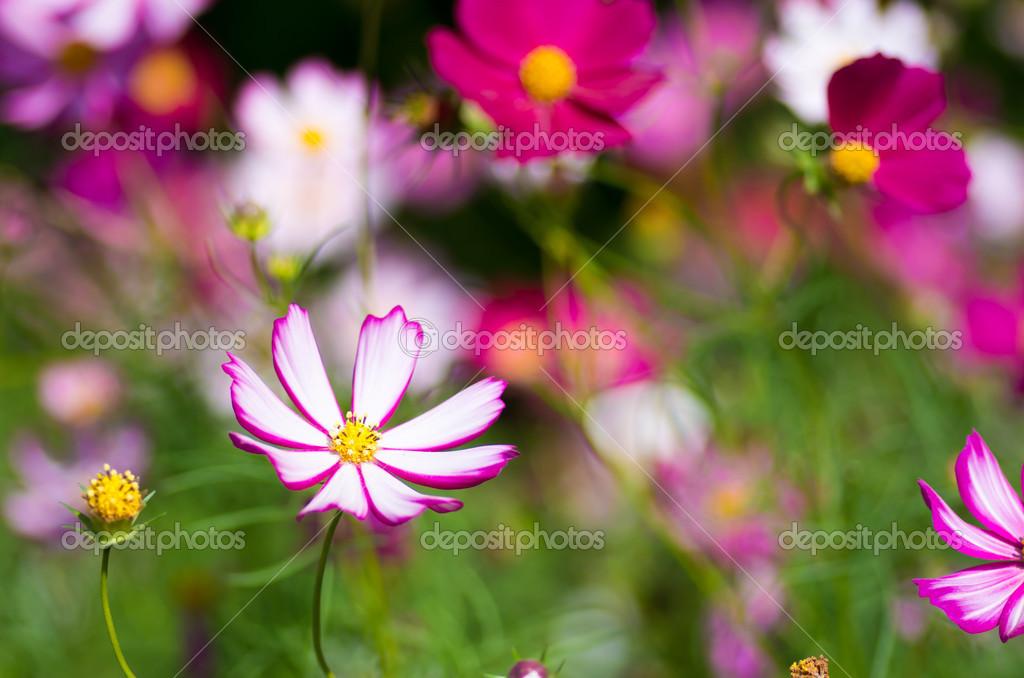 weiße und rosa kosmos blume — Stockfoto © inmt24 #33363631
