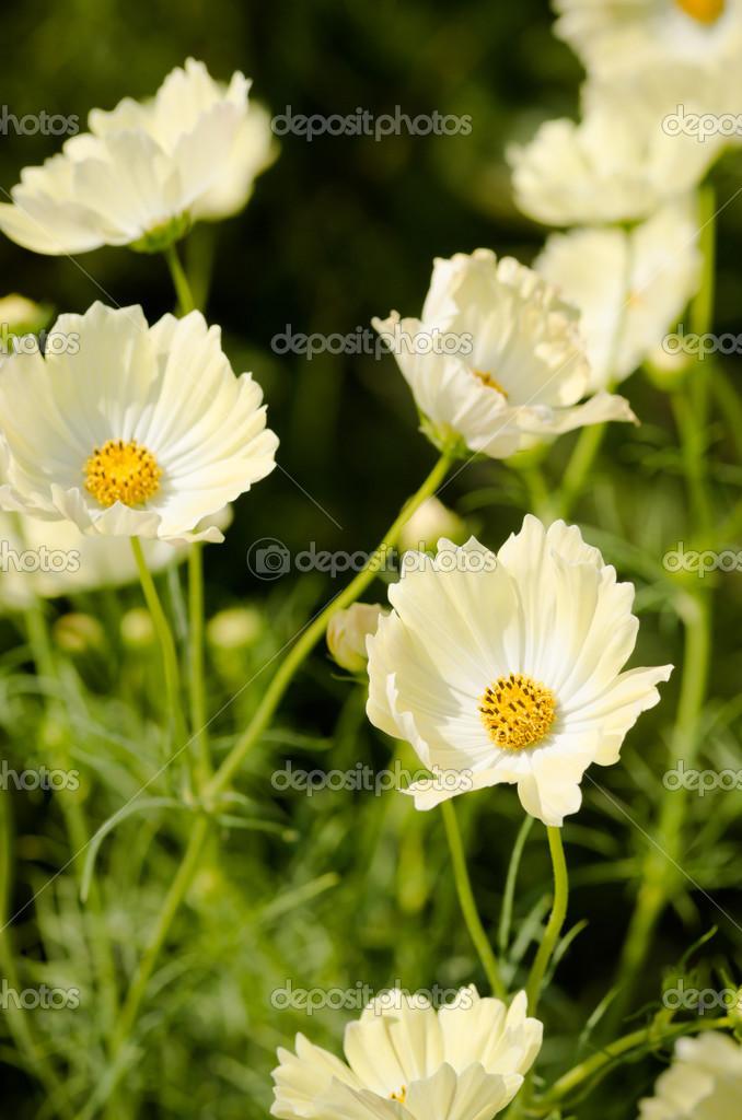 weiße und gelbe Kosmos Blumen — Stockfoto © inmt24 #33382943