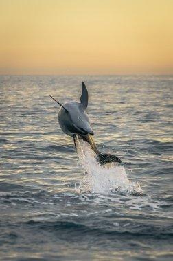 Flipping dolphin at sunrise