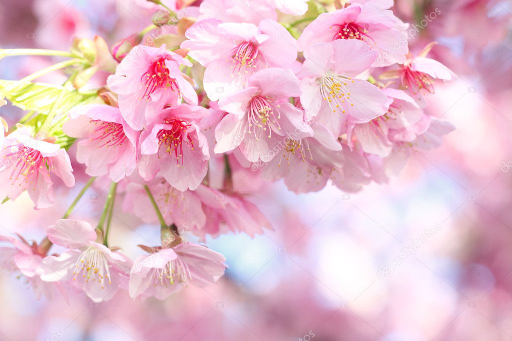 Kawazu Cherry