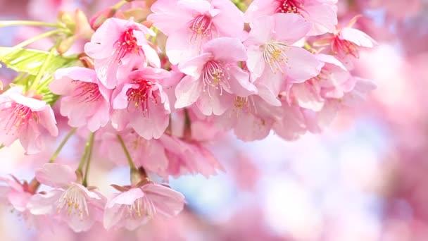 Kawazu cseresznye