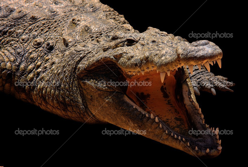 Crocodile in black