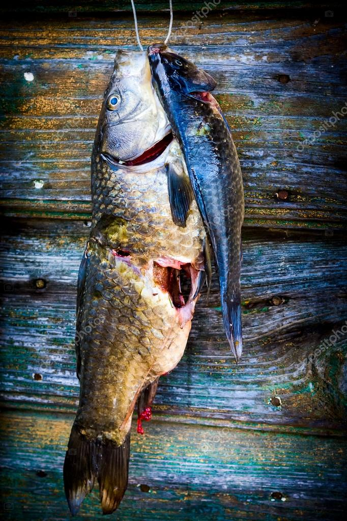 Freshly caught fish hanged on door