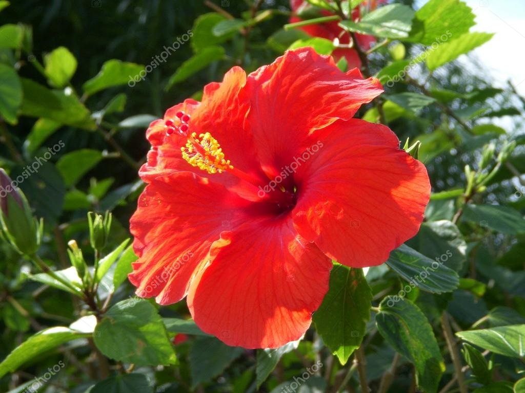 Hawaiian Hibiscus Flower Stock Photo Jasonyerface 21392791