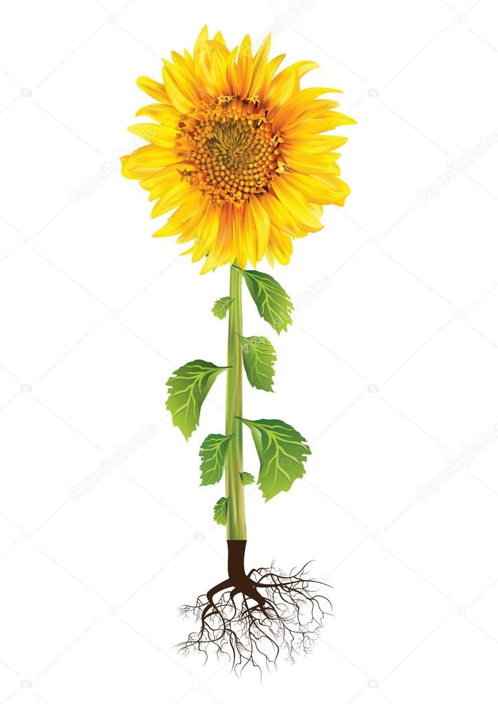 Good and healthy yellow sunflower with green leaves