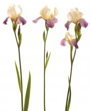 Purple and yellow Iris